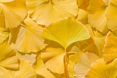 Ginkgo biloba Royalty Free Stock Photos