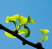 Ginkgo biloba. Green leaves on a tree. Ginko leafs is the symbol of Japanese tea ceremony. Ginkgo is used to improve memory in alternative medicine Royalty Free Stock Photography