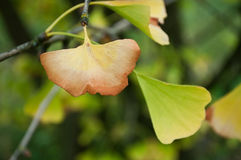 Ginkgo biloba autumnal leaves Royalty Free Stock Photo