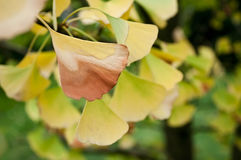 Ginkgo biloba autumnal leaves Royalty Free Stock Images