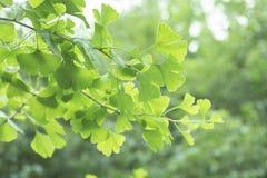 Ginkgo biloba Baum mit Blättern, Anlage benutzt in der chinesischen Medizin Ginkgobaum-Grünblätter, Heilpflanze dekorativ stockfotos
