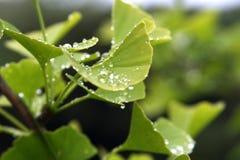 Ginkgo Biloba-Blätter mit Regen-Tropfen Stockfoto