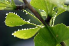 Ginkgo Biloba-Blatt mit Wasser-Tropfen Lizenzfreie Stockbilder