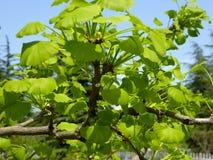 Ginkgo biloba bonsai Royalty Free Stock Images