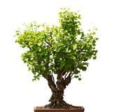 Ginkgo Biloba Bonsai Tree Royalty Free Stock Image