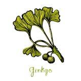 Ginkgo Biloba Botanical Illustration Stock Images