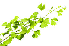 Ginkgo biloba branch Stock Photos