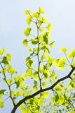 Ginkgo biloba branch Stock Images