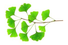 Ginkgo biloba. Branch with fresh green leaves in the spring of the ginkgo tree (Ginkgo biloba) isolated in front of white background Stock Photos