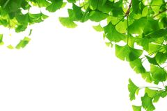 Ginkgo biloba branch with young leaves Royalty Free Stock Images