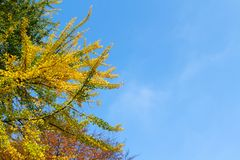 Ginkgo biloba branches with blue sky stock photo