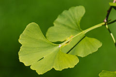 Ginkgo biloba Royalty Free Stock Images