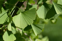 Ginkgo Biloba Stock Photos