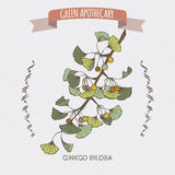Ginkgo biloba color sketch. Royalty Free Stock Images