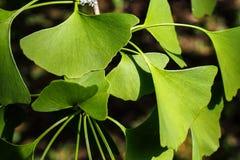 Ginkgo biloba - foglia dell'albero del ginkgo fotografie stock