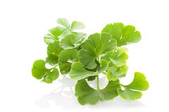 Ginkgo biloba. Royalty Free Stock Photo