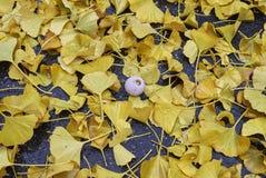 Yellow fallen leaves and fruit of Ginkgo biloba stock photos