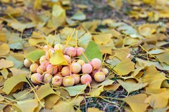 Ginkgo Biloba fruits heap lying over leaves Stock Photos