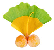 Ginkgo Biloba fruits twig over leaves Stock Image