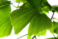 Ginkgo biloba green leaf Stock Images