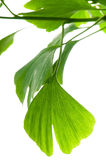 Ginkgo biloba green leaf Stock Photography