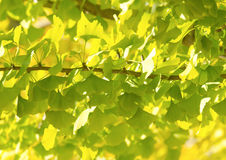 Ginkgo Biloba green leaf background Royalty Free Stock Photo