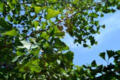 Ginkgo Biloba, green leaves and the blue sky Stock Photography