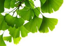 Ginkgo biloba green leaves on a tree. Ginkgo Biloba Tree Leaves on light sky royalty free stock images