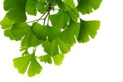 Ginkgo biloba green leaves on a tree. Ginkgo Biloba Tree Leaves on light sky stock image