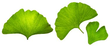 Ginkgo biloba islated leaf macro, green eco design elements, textured natural veins and stomata leaves on white background royalty free stock image