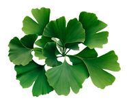 Ginkgo Biloba Isolated Leaves Stock Photo