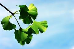 Ginkgo biloba leaf Stock Photos