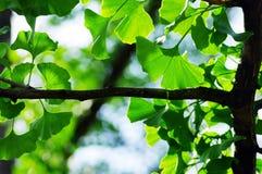 Ginkgo biloba leaf. royalty free stock photo
