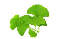 Free Ginkgo Biloba Leaf Royalty Free Stock Images - 14475359