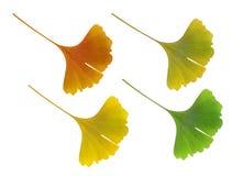 Ginkgo biloba leaf Stock Image
