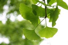Ginkgo Biloba leaf. Close up Stock Photography