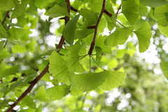 Ginkgo Biloba leaf Royalty Free Stock Photography