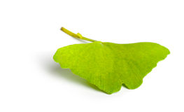 Ginkgo biloba leaf Royalty Free Stock Images