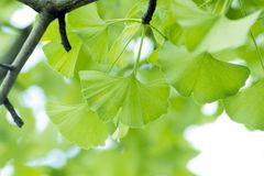 Ginkgo biloba leaf. Royalty Free Stock Images
