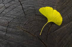 Ginkgo biloba leaf Stock Photography