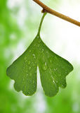 Ginkgo biloba leaf with dew drops Stock Images
