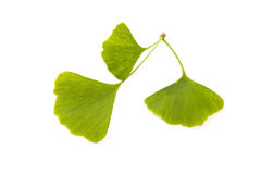 Ginkgo biloba leaf isolated on white Royalty Free Stock Photos