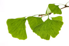 Ginkgo biloba leaf isolated on white Stock Photos