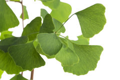 Ginkgo biloba leaf isolated on white Stock Photography