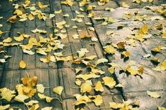 Ginkgo biloba leaf royalty free stock photos