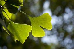 Ginkgo biloba leaf Royalty Free Stock Images