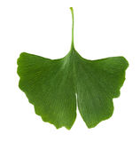 Ginkgo biloba leaf  on white background. Leaf from Ginkgophyta, also called maidenhair tree, used in medicine. Macro photo close up from above Royalty Free Stock Photography
