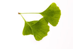 Ginkgo biloba leaf on white Royalty Free Stock Images
