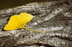 Ginkgo Biloba Leaf At Wooden Royalty Free Stock Images