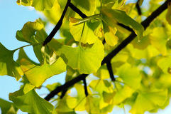 Ginkgo biloba leafs Stock Images
